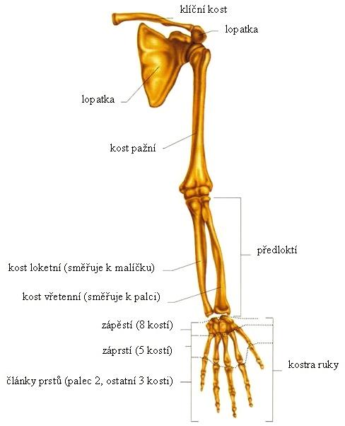 anatomie horní končetiny