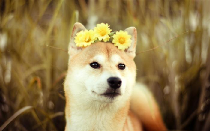 psi nevesta