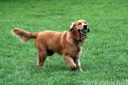 Poruchy štítné žlázy u psa